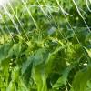 Cucumber - Applied Bio-nomics