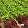 Hydroponic Lettuce - Applied Bio-nomics