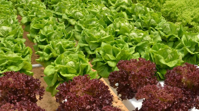 Hydroponic Lettuce - Applied Bio-nomics