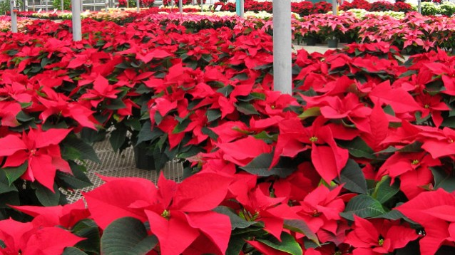 Poinsettias - Applied Bio-nomics