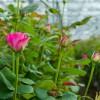 Roses - Applied Bio-nomics