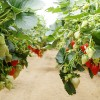Strawberries - Applied Bio-nomics