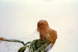 2-Spotted Spider Mites